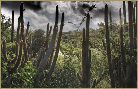 Cactus on Hassel Island